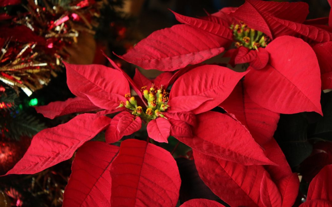 Poinsettias – top tips on looking after them